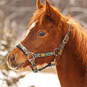 Young Horse In Winter Day Poster