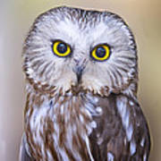 Young Saw-whet Owl Poster