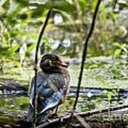 Young Wood Duck Poster