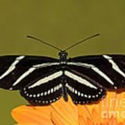Zebra Longwing Poster