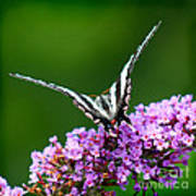 Zebra Swallowtail Butterfly Square Poster