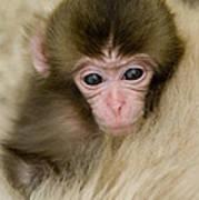 Baby Snow Monkey, Japan Poster