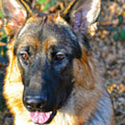 10-month-old Shepherd Poster