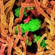 Streptomyces Coelicoflavus Bacteria Poster