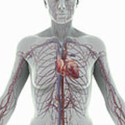 The Cardiovascular System Female Poster