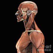 Muscles Of The Upper Body Poster