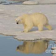 Polar Bear Walking On Ice Poster
