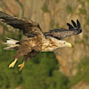 White-tailed Sea Eagle In Norway Poster