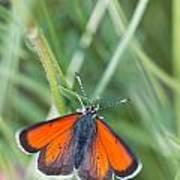 12 Balkan Copper Butterfly Poster