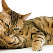 Bengal Brown Spotted Tabby Poster