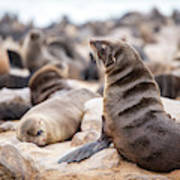 Cape Cross, Namibia, Africa - Cape Fur Poster