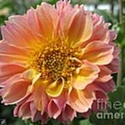 Dahlia From The Showpiece Mix Poster