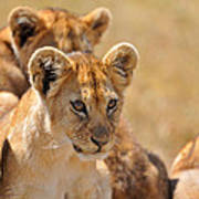 Lion With Cubs Poster