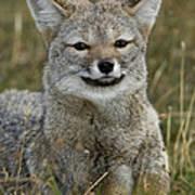 Patagonia Grey Fox Poster