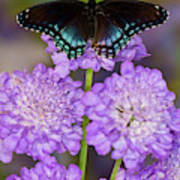Red-spotted Purple Butterfly, Limenitis Poster