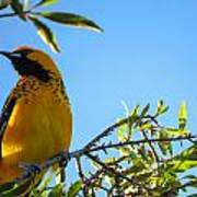 Spot Breasted Oriole Poster