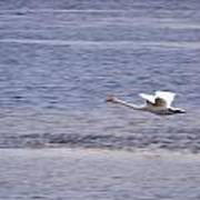 Whooper Swan Poster
