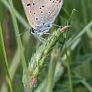 13 Balkan Copper Butterfly Poster