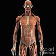The Muscle System Poster
