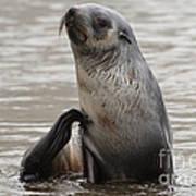 Antarctic Fur Seal Poster