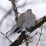 Eurasian Collard Dove Poster
