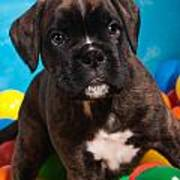 little Boxer dog puppy Poster