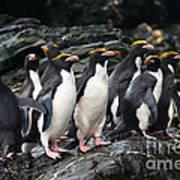 Macaroni Penguin Poster