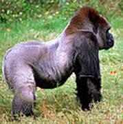 Western Lowland Gorilla Poster