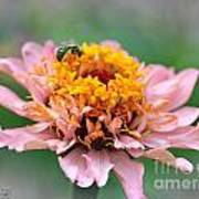 Zinnia From The Candy Mix Poster