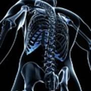 Male Skeleton Poster