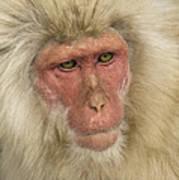 Snow Monkey, Japan Poster