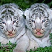 Tigre Blanc Panthera Tigris Poster
