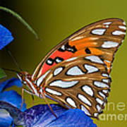 Gulf Fritillary Butterfly Art Print By Millard H Sharp