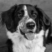 Portrait Of A Border Collie Mix Dog Poster