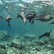 Playful Sealions In Baja Poster