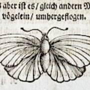 1683 Maria Merian Black Veined White Poster