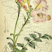 Botanical Print By Walter Hood Fitch 1817 – 1892 Poster