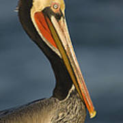 Brown Pelican Poster