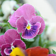 Viola Tricolor Heartsease Poster