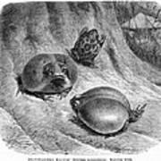 1892 Art Print Animal African Mozambique Rain Flat-face Frog Poster
