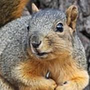 Eastern Fox Squirrel Poster by Jack R Brock