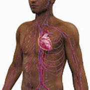 The Cardiovascular System Poster