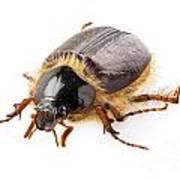Cockchafer Or June Beetle  Poster