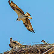 3 Ospreys At The Nest Poster