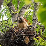 Adult Red Shouldered Hawk Poster