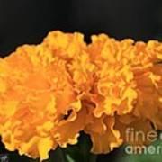 African Marigold Named Crackerjack Gold Poster
