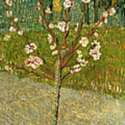 Almond Tree In Blossom Poster