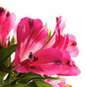 Alstroemeria Flowers Against White Poster