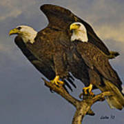 American Bald Eagle Pair  Poster