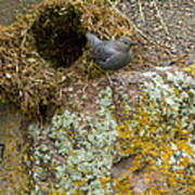 American Dipper And Nest   #1487 Poster